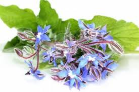 Borage-olie